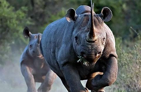 Опасные носороги