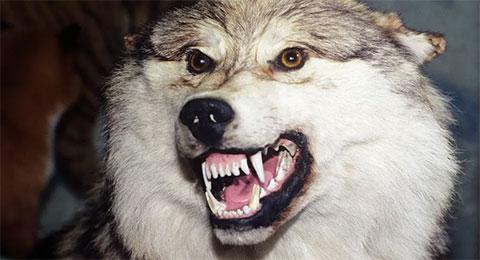 Схватка с волком