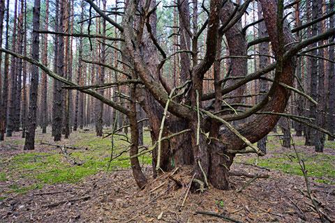 Деревья-мутанты в Чернобыльском лесу