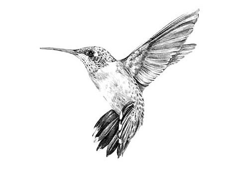 Эскиз для татуировки с колибри