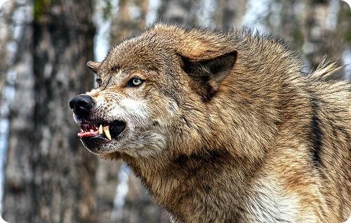 Тверские волки