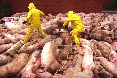 Профилактические мероприятия по предупреждению возникновения и распространения африканской чумы свиней (АЧС) в Екатеринбурге