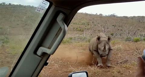 Нападение носорога фото
