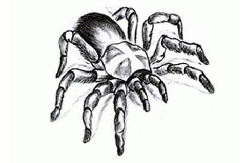Эскиз для тату паук